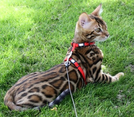 Bengal cat for sale bc